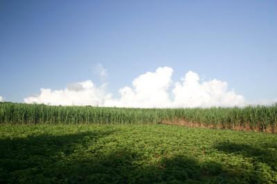読谷の紅芋畑