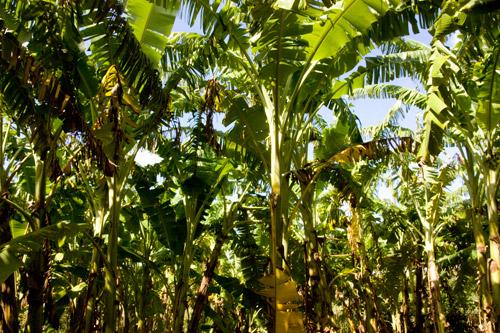 琉球もちっこバナナ